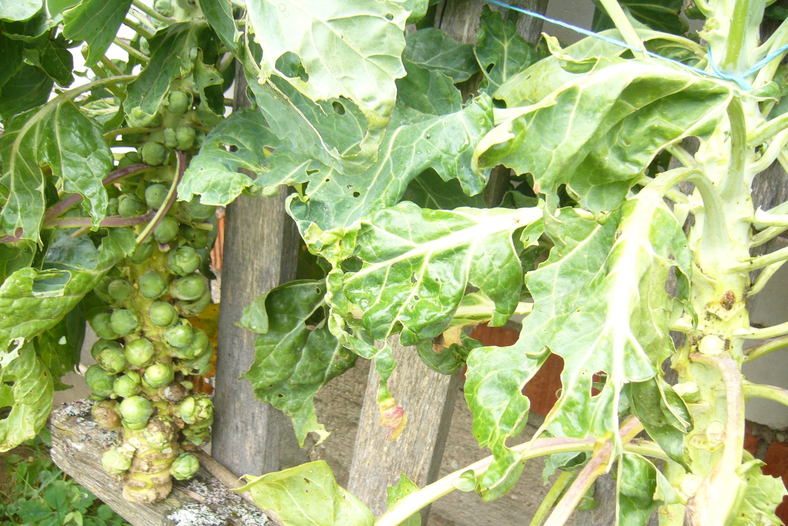 Эта неожиданная брюссельская капуста урожай