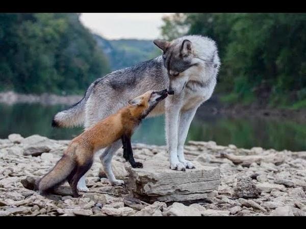 Вы будете Плакать - Редкий Случай Волк Влюбился в Лису.