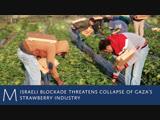 Israeli blockade threatens collapse of Gazas strawberry industry.mp4.mp4