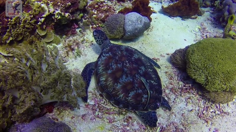 Зелёная черепаха на дайвсайте SD острова Нуса-Пенида | Дайвинг на Бали