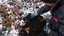 Копаем корни ежевики