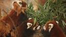 Красные панды на выставке в зоопарке Парка Линкольна