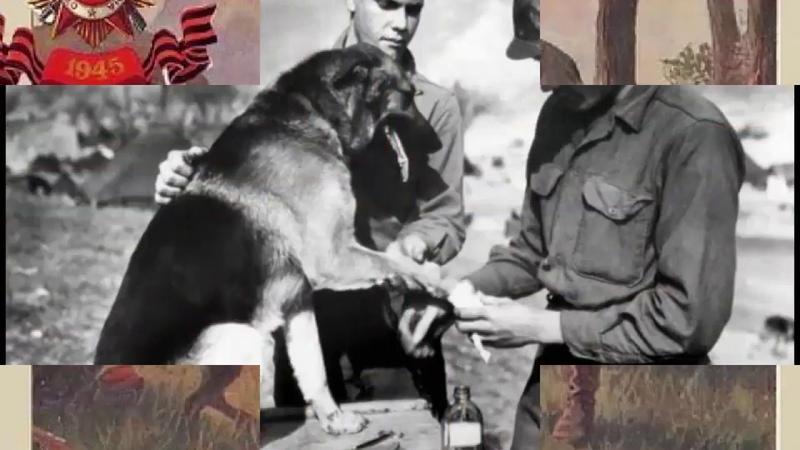 Собака связист по кличке Рекс