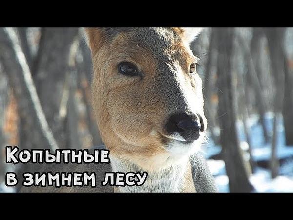 Копытные в зимнем лесу