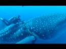 Китовая акула попросила дайвера о помощи