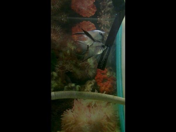 Paraiba angelfish Blushing veil pair