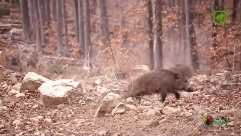 Охота на кабана Одним выстрелом два сиголетка Hunting for wild boar with one shot two fingerlings
