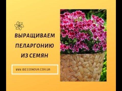 Пеларгония. Посев семян Московским методом. 98-100% всхожести.
