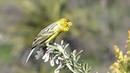 Atlantic canary / Канарский канареечный вьюрок / Serinus canaria