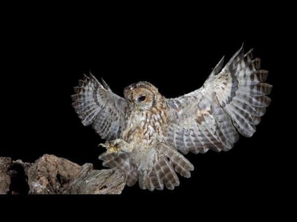 Дневные и ночные хищные птицы (рассказывает биолог Алексей Мосалов)