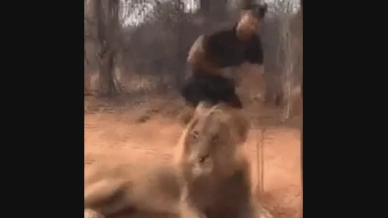 Lion trolls a young man