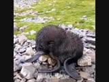 Новорожденный морской котик