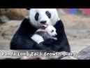 Panda Long Zais Growth Diary iPanda