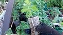 Рассада томатов в нетканом мешке