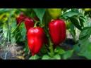 Как часто и сколько поливать перец Все о поливе перцев