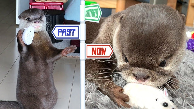 カワウソ コタロー 因縁の仲!?ロボットネズミとの昔と今 Kotaro the Otter Favorite Robo