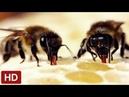 Как пчелы появляются и делают мед?