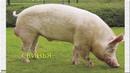 Развивающий мультик о животных на ферме. Как говорят разные животные