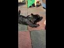 Скотч терьер- самая лучшая собака в мире