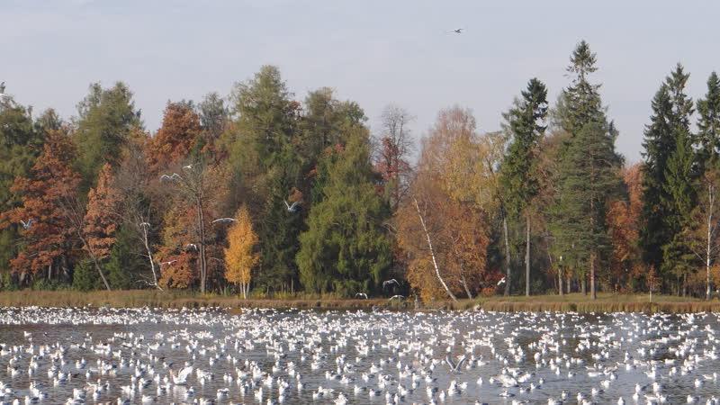 13 10 2018 г Стаи птиц на Белом озере в Гатчине Видео Н Кутиковой