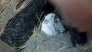 Крольчиха родила 13 крольчат и всех выкормила.