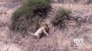 Best Documentary Male Lions Kill Cubs And Take Over Pride