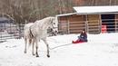 Хенти впервые запряжена в санки | Тренинг лошади и работа на вожжах