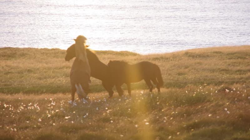 Лошади на закате в Исландии