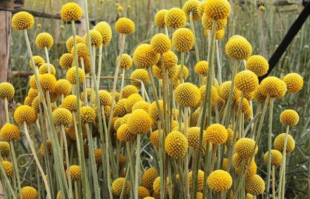 краспедия краспедия (craspedia) род травянистых однолетников и многолетников семейства сложноцветных (compositae), произрастающих на юго-востоке австралии, на острове тасмания и в новой