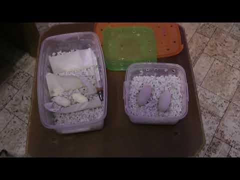 Эублефары - Инкубация яиц Эублефаров с нового разведения 3
