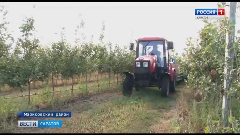 Яблоневый сад Маркса накормит весь регион