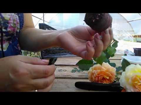 Черенкование роз. Результаты