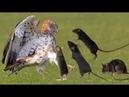 Melhores Momentos De Pássaros e Ratos Você Não Vai Acreditar