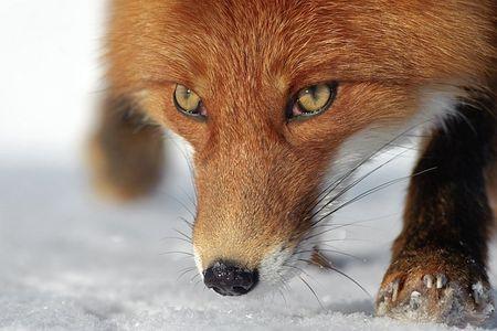 На Харьковщине гуляют бешенные еноты, лисы и куницы