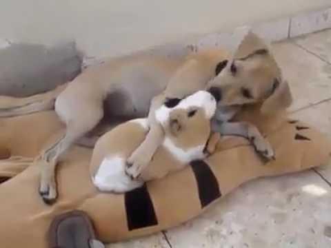Собака и морская свинка лучшие друзья.