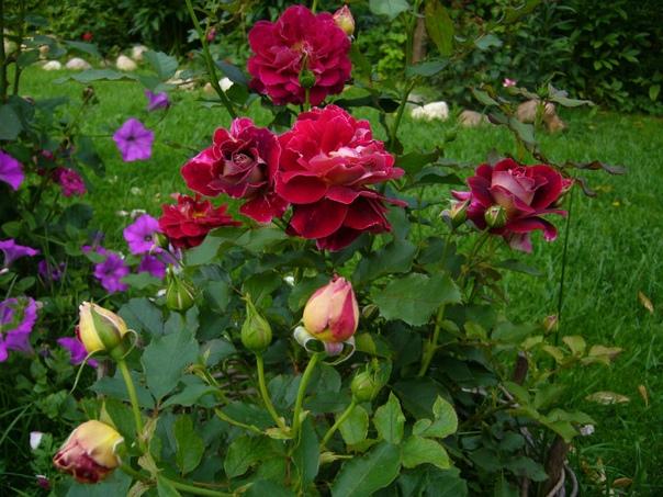 Полезные соседи для роз: что лучше всего посадить рядом с цветами