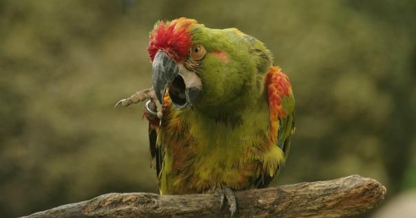 Попугаи-наркоманы съели часть урожая опийного мака в Индии