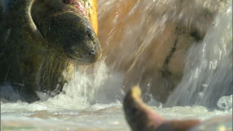 BBC «Большой Барьерный риф (3). На рифе и за его пределами» (Познавательный, природа, животные, 2012)