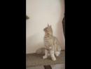 Мервин - кот , кремовый , д.р. 18.03.18г.