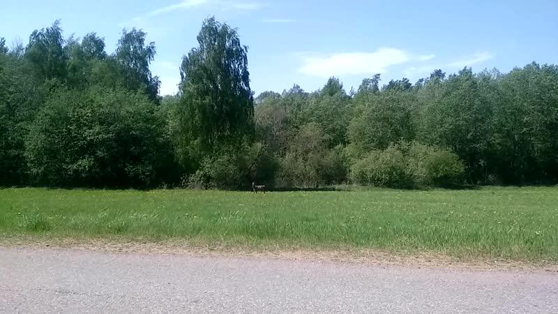 Олени на трассе в Беларусии