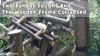 Two Pandas Fought And The Wooden Frame Collapsed | iPanda