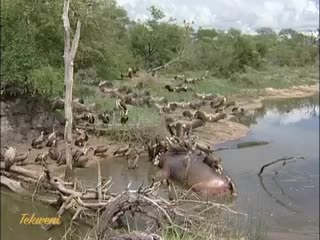 Стервятники и гиены кормятся на туше бегемота