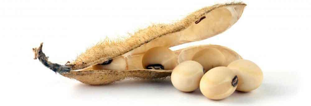 В соевых бобах содержится больше всего белка из всех других видов бобов