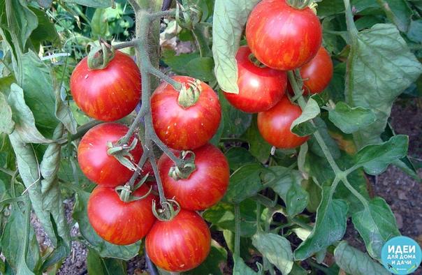 Ошибки, снижающие урожай томатов Кто не согласится с тем, что хороший урожай это следствие грамотного регулярного ухода за культурой! Однако, на сегодняшний день в мире огородничества существует