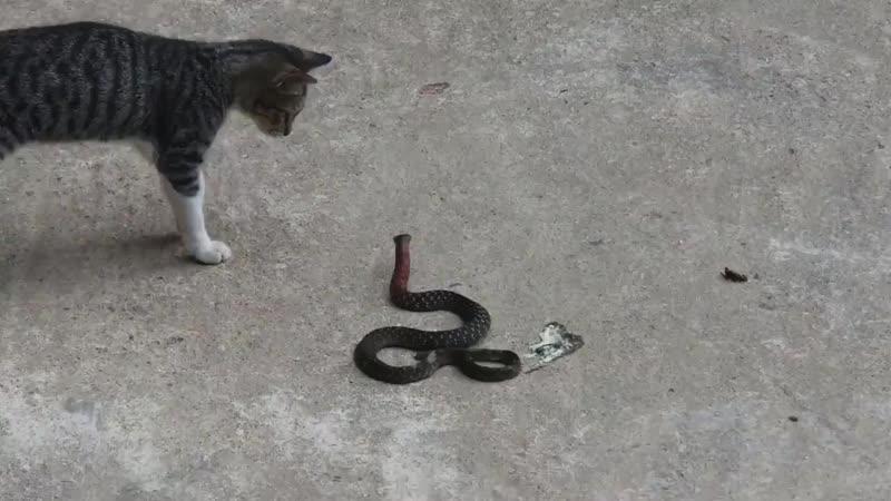 Эта змея слишком близко подползла к дому. Кот пытался защитить свою территорию