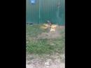 бешеная собака злится