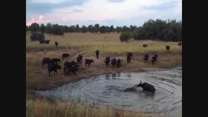 Нильские крокодилы атакуют добычу
