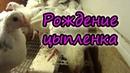 Рождение цыплят Задавайте вопросы Витины фокусы Белорусская деревня