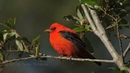 2018-04-16 A Most Beautiful Migrant: Scarlet Tanager