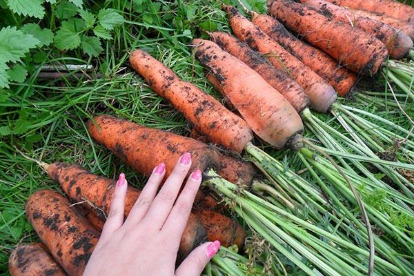 почему морковь может получиться мелкой как вырастить крупный и сладкий овощ, какие сорта лучше важные показатели качества морковки это высокое содержание сахаров, большие размеры и ровная форма.
